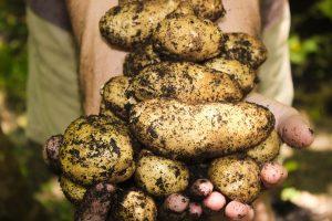Благоприятные условия выращивания картофеля