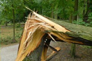 Независимая экспертиза дерева